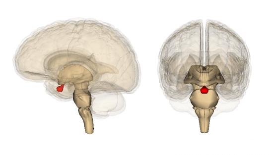 10 Facts About The Pituitary Gland