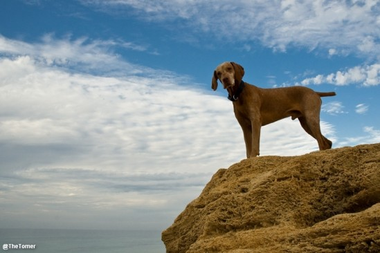 Neo the Vizsla by Tomer Jacobson