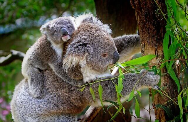 10 Facts About Koalas