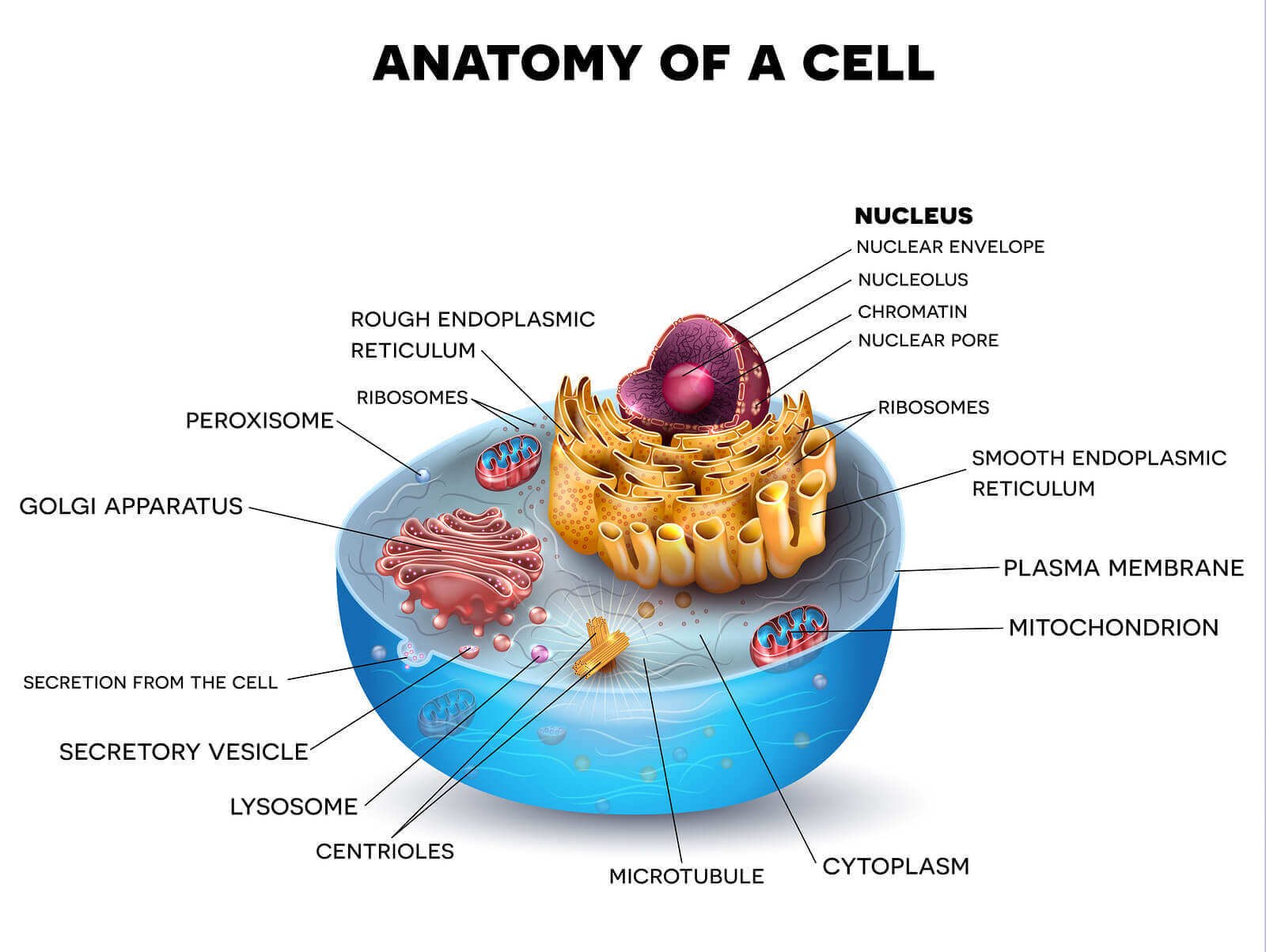 Anatomy of cell