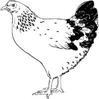 Clucking Hen