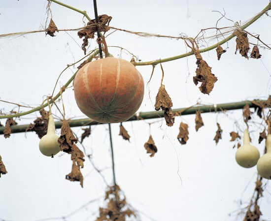 Hanging Gourds