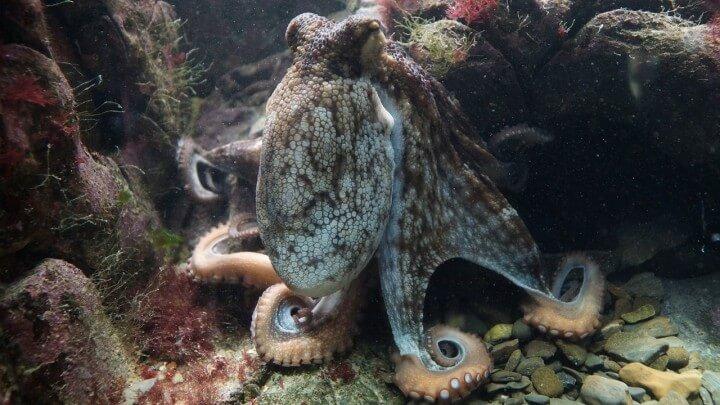 Edible Ocean Octopus