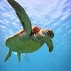 Puzzle Turtle