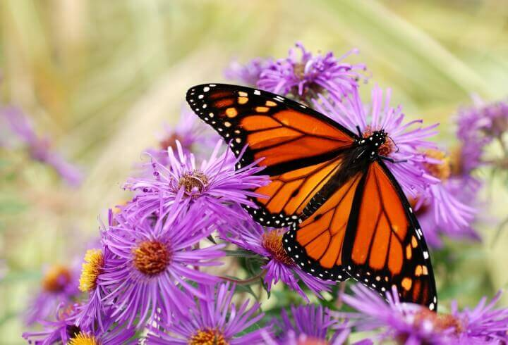 Beautiful Monarch Butterfly Fe