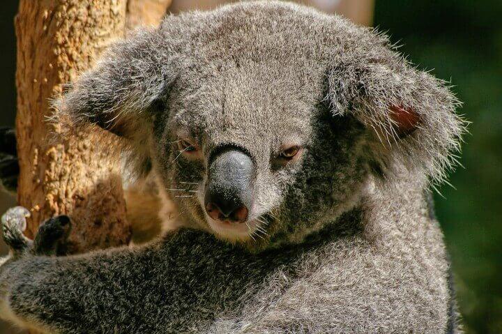 Ececfecbada Koala